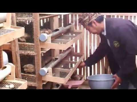 Video Cara Memberi Pakan Burung Puyuh