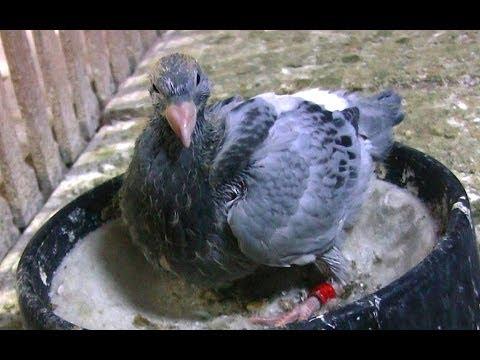 Yavru Güvercin Bakımı - Vitamin ve Mineral Taşları