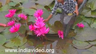 Children plucking Water Lilies