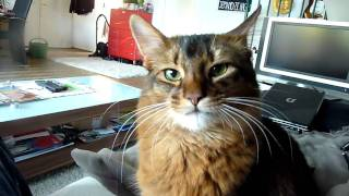 Muffin - The Somali Cat - Muffin likes  to fetch - Katze apportiert - Retrieves Cat