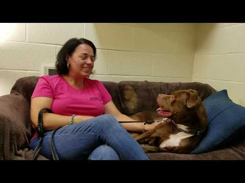 Octavia, an adopted Pit Bull Terrier Mix in Williamsport, PA