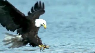 Wild Eagle Attacks, Best Attacks Ever.