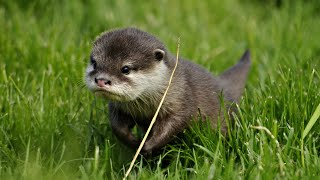 Cutest Baby Otter EVER!! - Cute Compilation (2021)