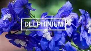 EL DELPHINIUM FLOR DE JULIO I·I MARISOL DUQUE M.D.
