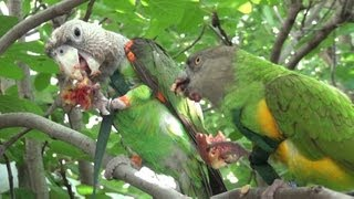 Parrots Eating Figs Right Off a Fig Tree