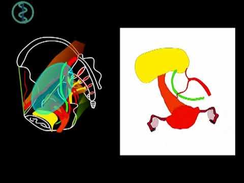 Dimensiunea viermilor din cromozomii umani