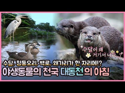 천연기념물 수달 가족이 대전에 나타났어요~ 야생동물의 천국 대동천의 아침