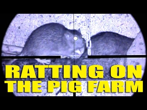 Ratting on the Pig Farm