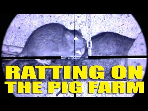 Ratting on the Pig Farm