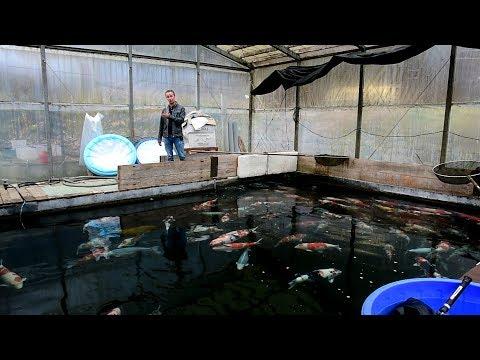 Modern Koi Blog #2825 - Live aus Japan: Ein Rundgang über die Oyama Koi Farm