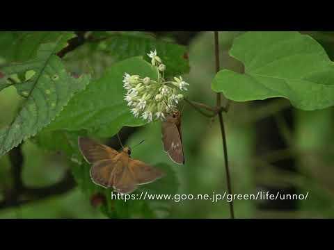 キバネセセリの飛翔 Bibasis aqulina fluttering