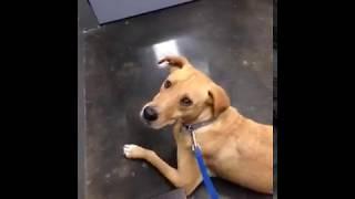 Yellow Labrador Retriever Mix For Private Adoption in Houston