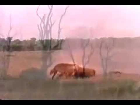 Lion Known as Hyena Killer - one of the most epic videos on the internet