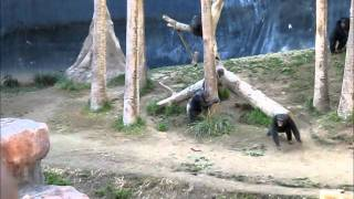 Briga maluca entre chimpanzés num zoológico em Chicago