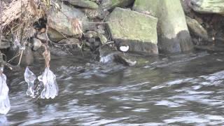 preview picture of video 'Wasseramsel auf Nahrungssuche'