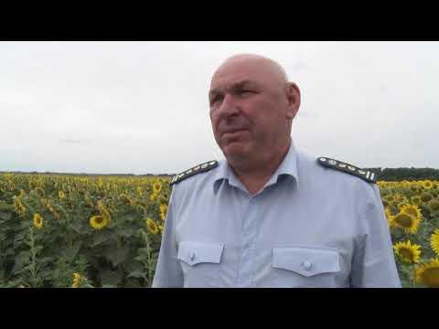 Специалистами Управления Россельхознадзора проведен мониторинг посевов подсолнечника на наличие ГМО в Ростовской области