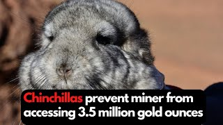 Chinchillas prevent Gold Fields from accessing 3.5 million gold ounces