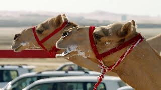 د اوښانو چلول؛ د دوبۍ د صحرايي سيمو کلتوري سيالۍ! – ويډيو