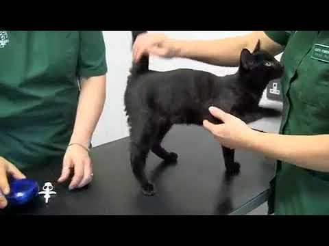 Come viene inserito il microchip nel Gatto?