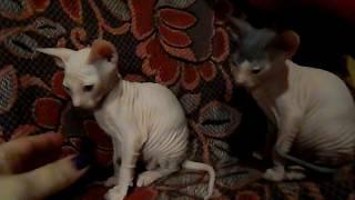 Котята из питомника, редкого окраса.