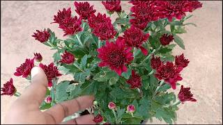 How To Take Care Of And Grow Chrysanthemums | Guldaudi In Hindi || Sevanthige In Kannada