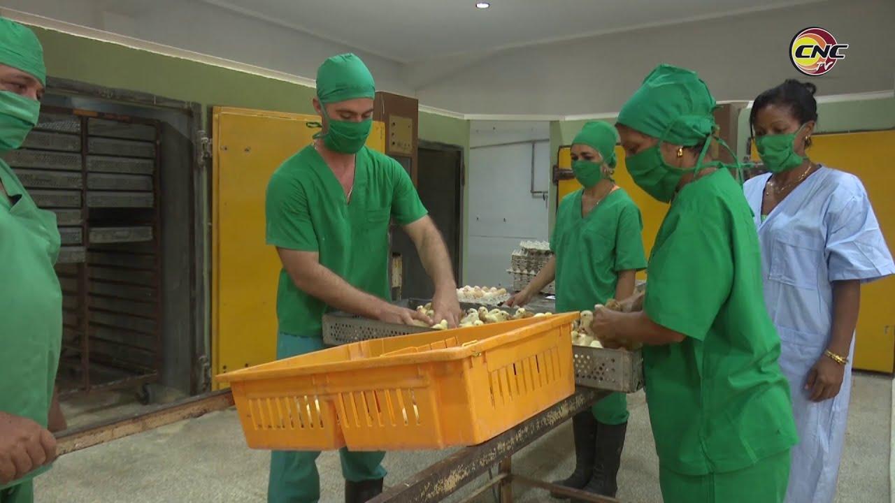 Recuperan capacidades productivas en Planta de Incubación de huevos en Granma