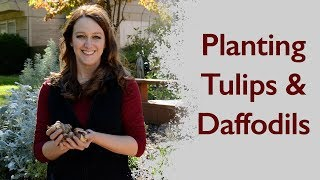 Planting Tulips and Daffodils