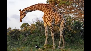 Wild Giraffe Finds Bunny — And Decides To Keep Him