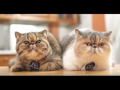 Экзот ➠ Узнайте все о кошке Экзотическая короткошерстная