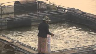 preview picture of video 'Mekong Fish Farming, Nong Khai, Thailand'