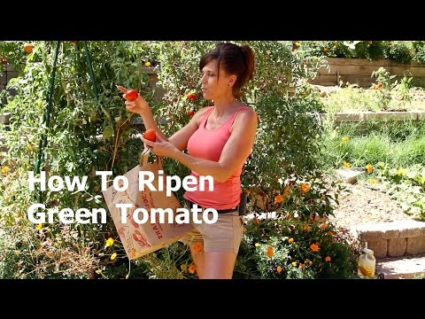 , title : 'How to Ripen a Green Tomato off the Vine