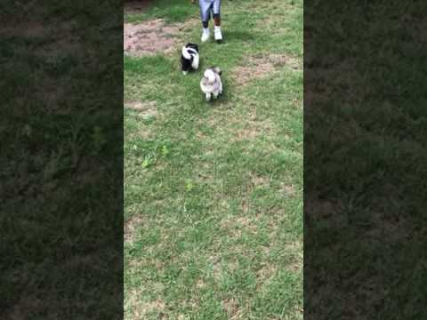 Pekeignese Puppy at play in yard