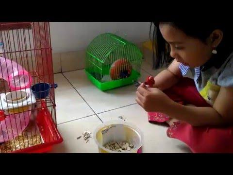 Video Cara memelihara hamster di rumah