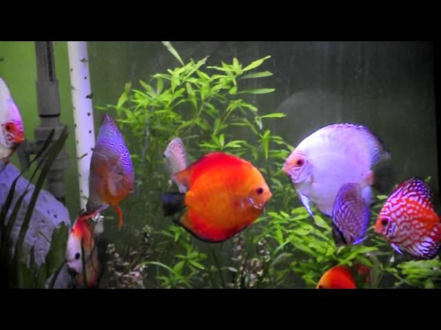Acuario plantado 240 Litros con peces disco / 240 liter discus fish aquarium