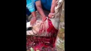 preview picture of video 'pisau sembelih VICTORINOX dan ibadah Qurban 2014'
