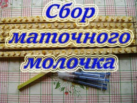 Сбор маточного молочка. 5 июня 2016 года в Свердловской области.