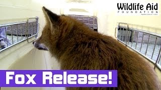 preview picture of video 'Tired Fox gets Released Back to the Wild - Wildlife Animal Rescue'
