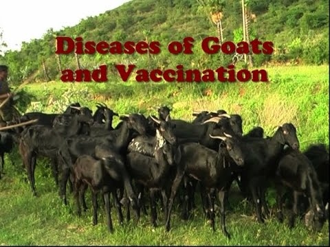Video Diseases of Goats and Vaccination