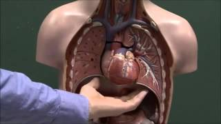 Chest anatomy, heart and lungs