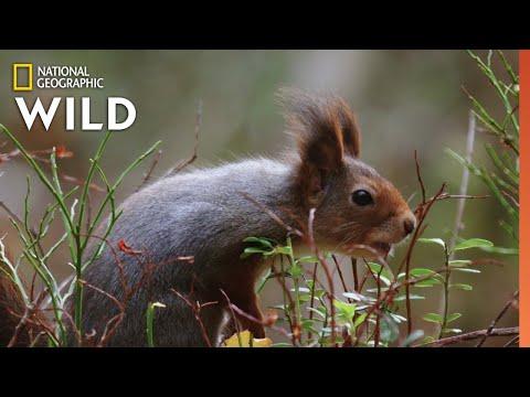 Red Squirrels Steal Acorns | Wild Nordic