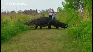 This monster alligator is terrifying