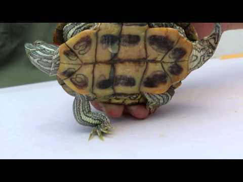 How to tell the difference between a male and female red-eared slider