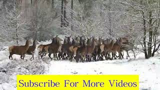 Deer National Geographic Stock Footage By Free HD Videos