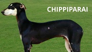 Chippiparai Hound, India