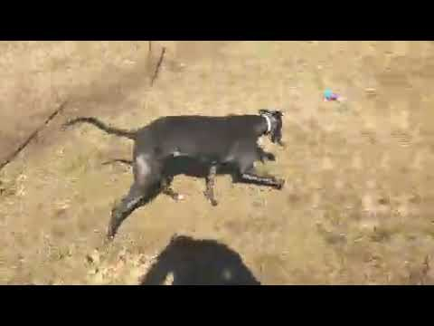 Wren, an adopted Greyhound in Burlington, WI