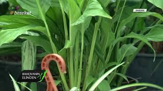 Bahçıvanın Elinden - Palmiye ve Barış Çiçeği