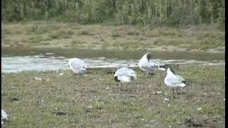 preview picture of video 'Spot the mediterranean gull!'