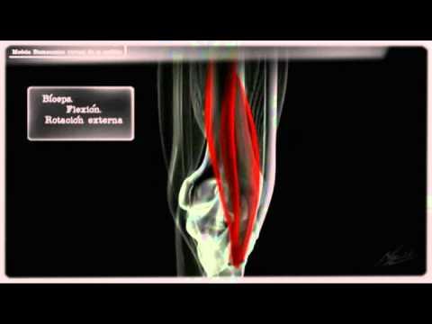 Sanguijuela y articulaciones