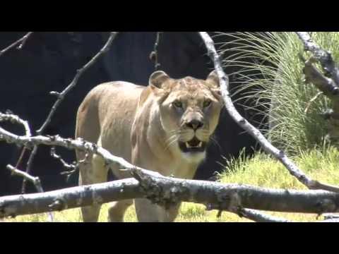 الاسود في حديقة الحيوانات في ولاية أوريغون