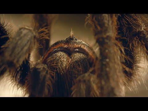 Tarantulí páření: Hlavně neztratit hlavu